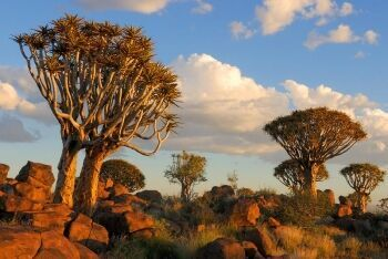 Quiver Tree Forest near Keetmanshoop, Namibia