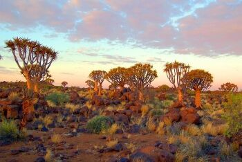 Quiver Tree Forest, Keetmanshoop, Namibia